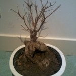 Eerste hulp Bonsaiboom