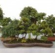 Bonsai boom soorten