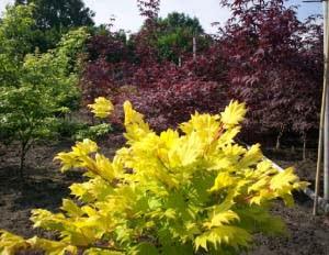 Bonsai Acer herfstkleuren