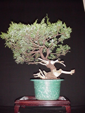 Bonsai-Jin-en-Shari(2)