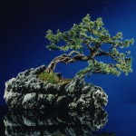 bonsai Picea op steen