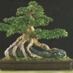 Bonsai Acer buergerianum