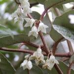 Bonsai elaeagnus olijfwilg bloem