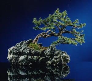 Bonsai stijlen Picea met blootgespoelde wortels