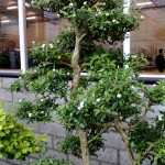 bonsai carmona in bloei