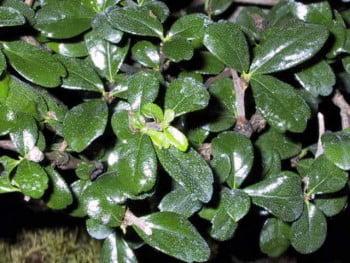 bonsai carmona blad