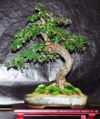 bonsai crataegus yamadori uit Engeland door Mariline Limbertie volledig opgebouwd