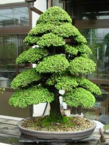 bonsai cryptomeria gevormd