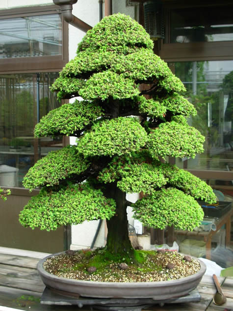 bonsai-cryptomeria