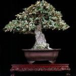 bonsai elaeagnus olijfboom