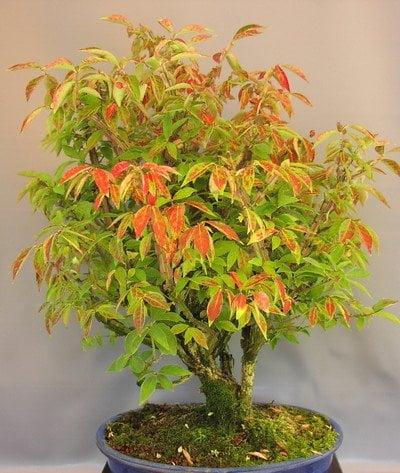 Bonsai euonymus
