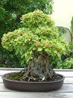 bonsai ficus benjamina treurvijg