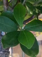 Bonsai Ficus Microcarpa Ginseng blad