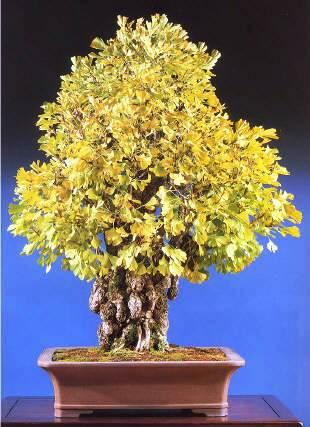 bonsai-ginkgo plant