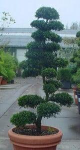 bonsai ilex