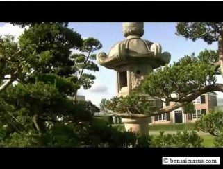 bonsai ilex crenata filmshot