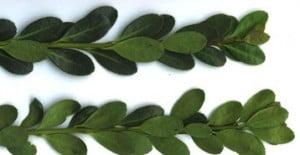 bonsai ilex crenata