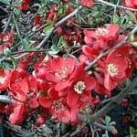 Bonsai Chaenomeles Dwergkwee in bloei