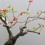 Bonsai Chaenomels in bloei
