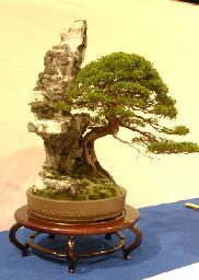 bonsai-juniperus chinensis
