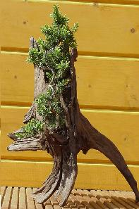 bonsai-juniperus rigida