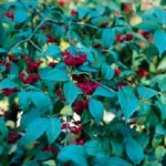 bonsai kardinaalsmuts