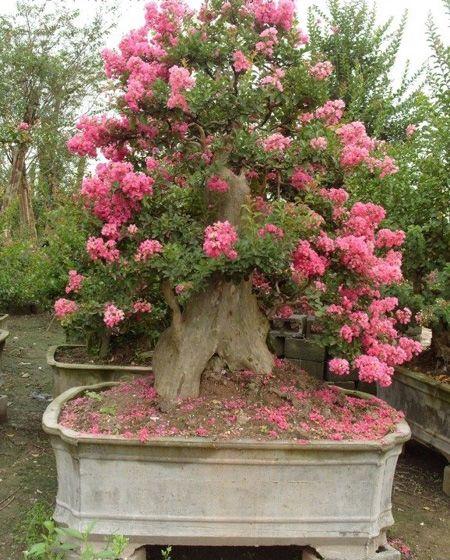 bonsai-lagerstroemia