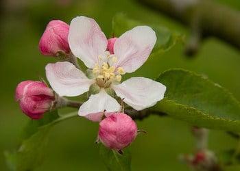 bonsai malus bloem