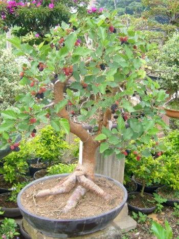 bonsai-morus