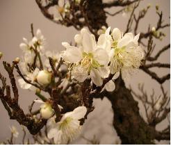 bonsai-prunus bloem