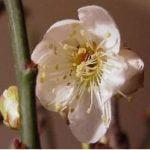 Bonsai Prunus bloei