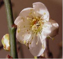 bonsai-prunus1
