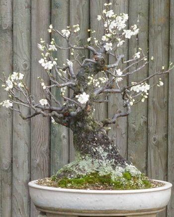 bonsai-prunus2