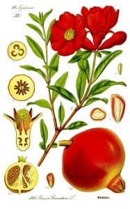 Bonsai Punica Granaatappel