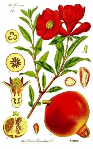 bonsai-punica bloem en vrucht