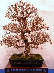 bonsai punica