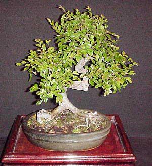 bonsai ulmus-parvifolia-chinese-iep