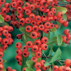 bonsai PYRACANTHA MOHAVE