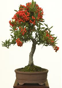 bonsai vuurdoorn