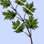 Bonsai Esdoorn-bladsnoei