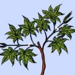 Esdoorn Bonsai snoeien