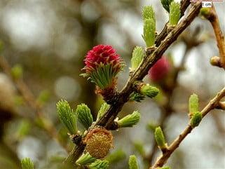 bonsai larix-decidua