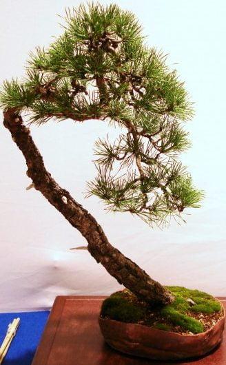 Bonsai Tentoonstelling pinus sylvestrus Yamadori