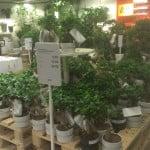 Ikea Bonsai Ficus Microcarpa Ginseng (Chinese vijg)