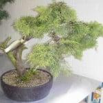 juniperus 3