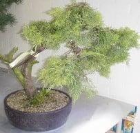 juniperus 1