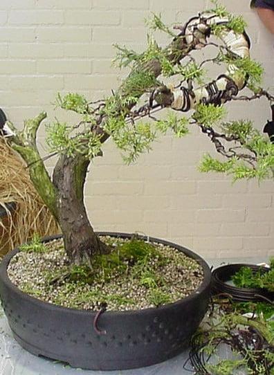 juniperus 2