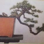 Bonsai Ceder Himalaya bedraad