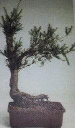 Taxus Baccata startplant