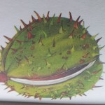 Bonsai Kastanje vrucht